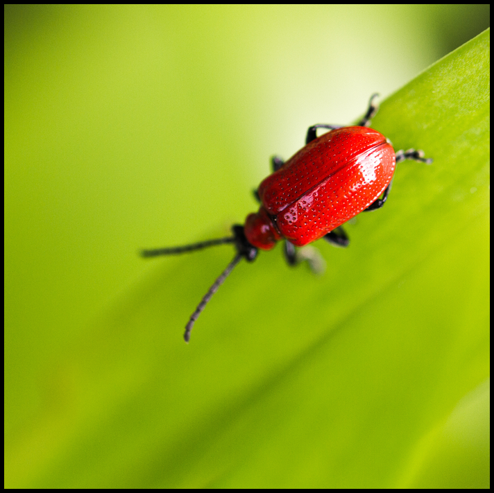 Closeup of bright red bug on deep green leaf. class=
